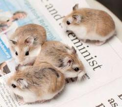 Adopt Hamsters