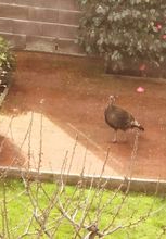 Turkey loose2