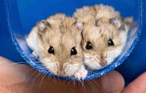 Dwarf hamsters 2