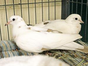 ADopt doves