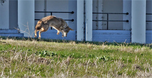 coyote-hunting-gophers