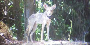 coyote-in-the-presidio