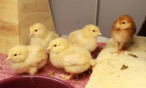 5 chicks adopted to Oakdale maddies