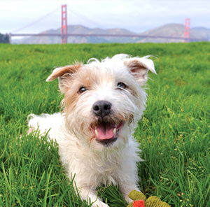 Puppy in front of the Golden Gate Bridge