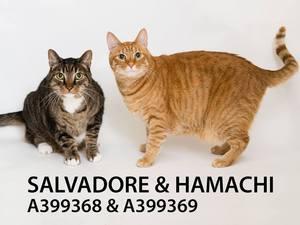 Adopt Salvadore - Hamachi