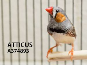 Atticus the finch adopted