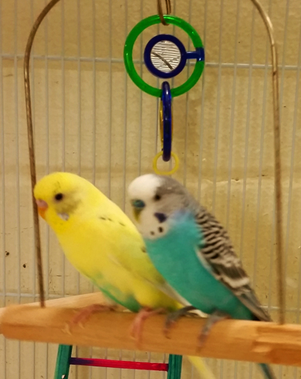 parakeetsforadoption